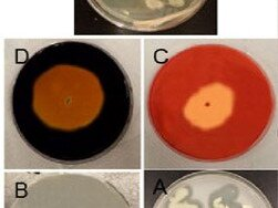 Bacterial consortium for degradation of oil and fat in food waste